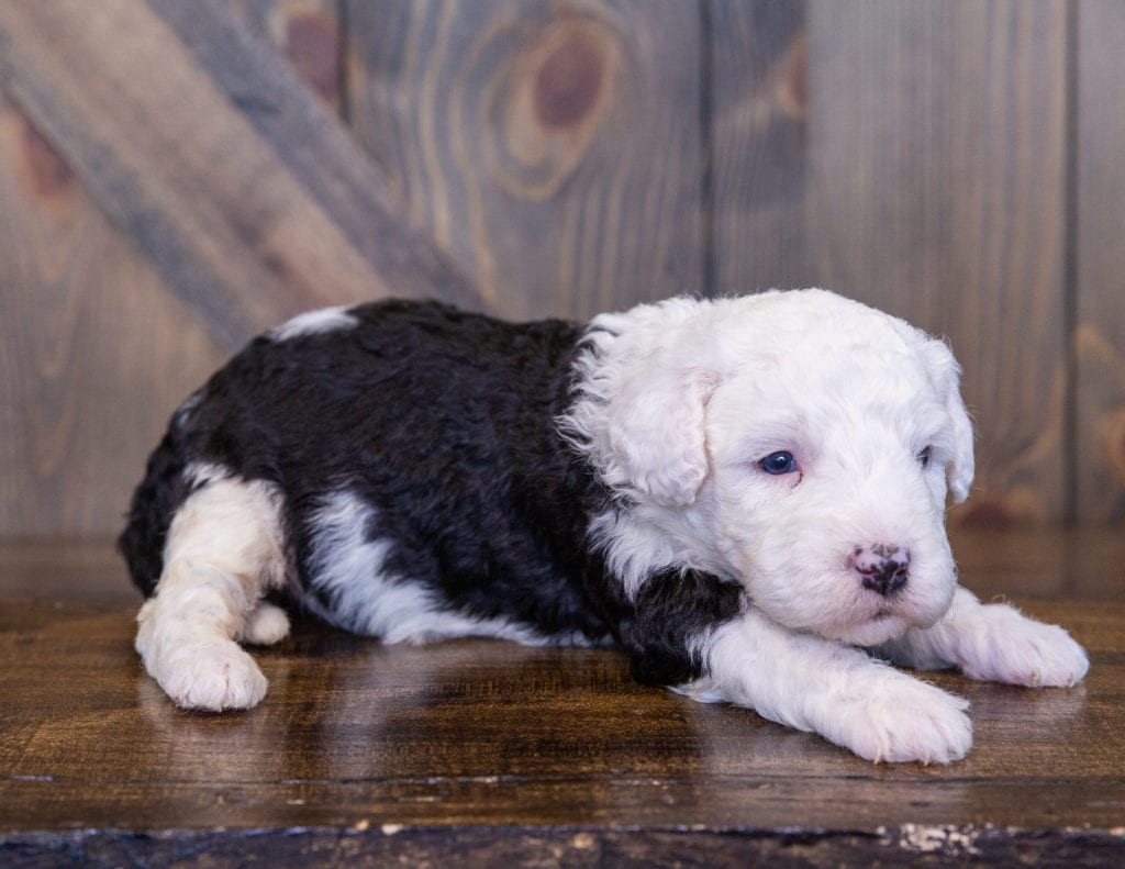 A picture of a Tully, one of our Mini Sheepadoodles for sale