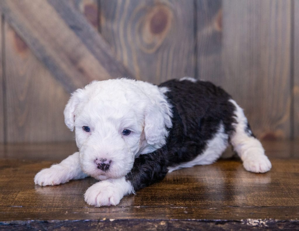 Tully is an F1 Sheepadoodle.