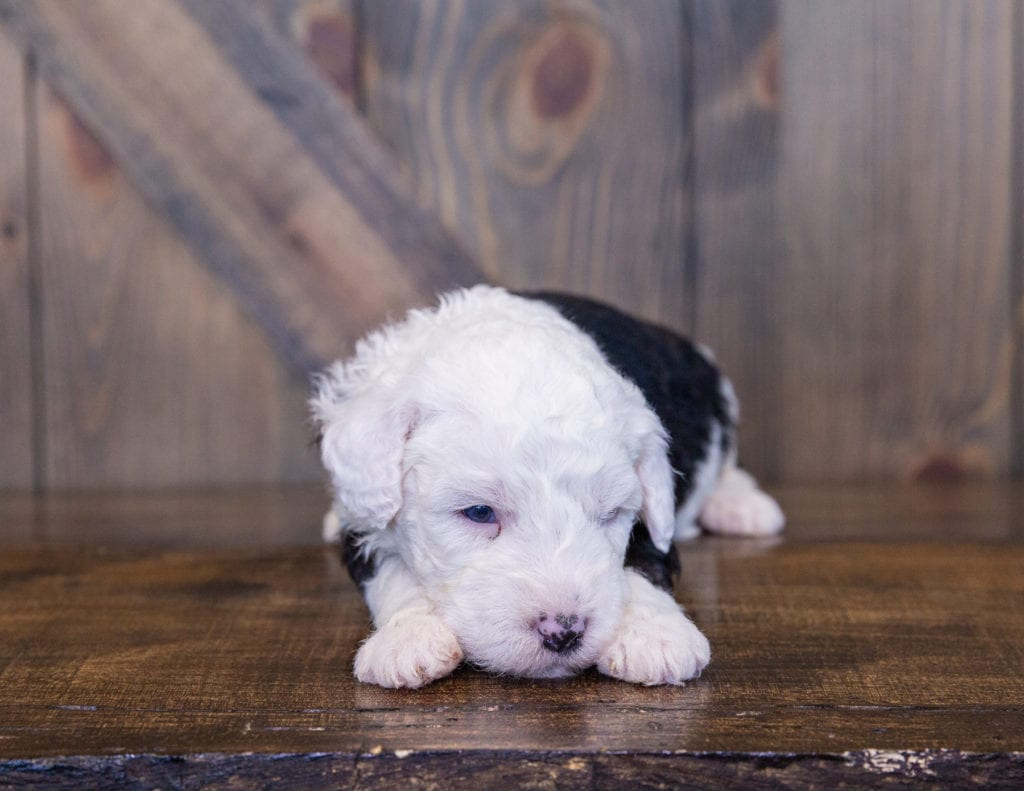 Tully came from Millie and Stanley's litter of F1 Sheepadoodles