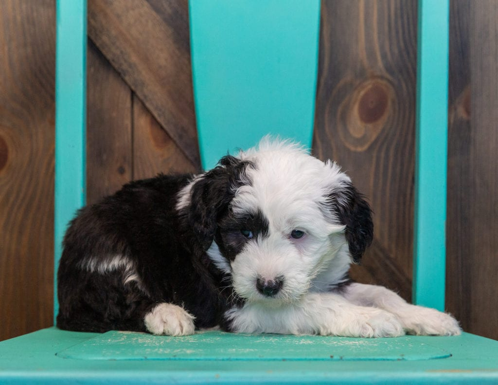 A picture of a Turbo, one of our Mini Sheepadoodles for sale