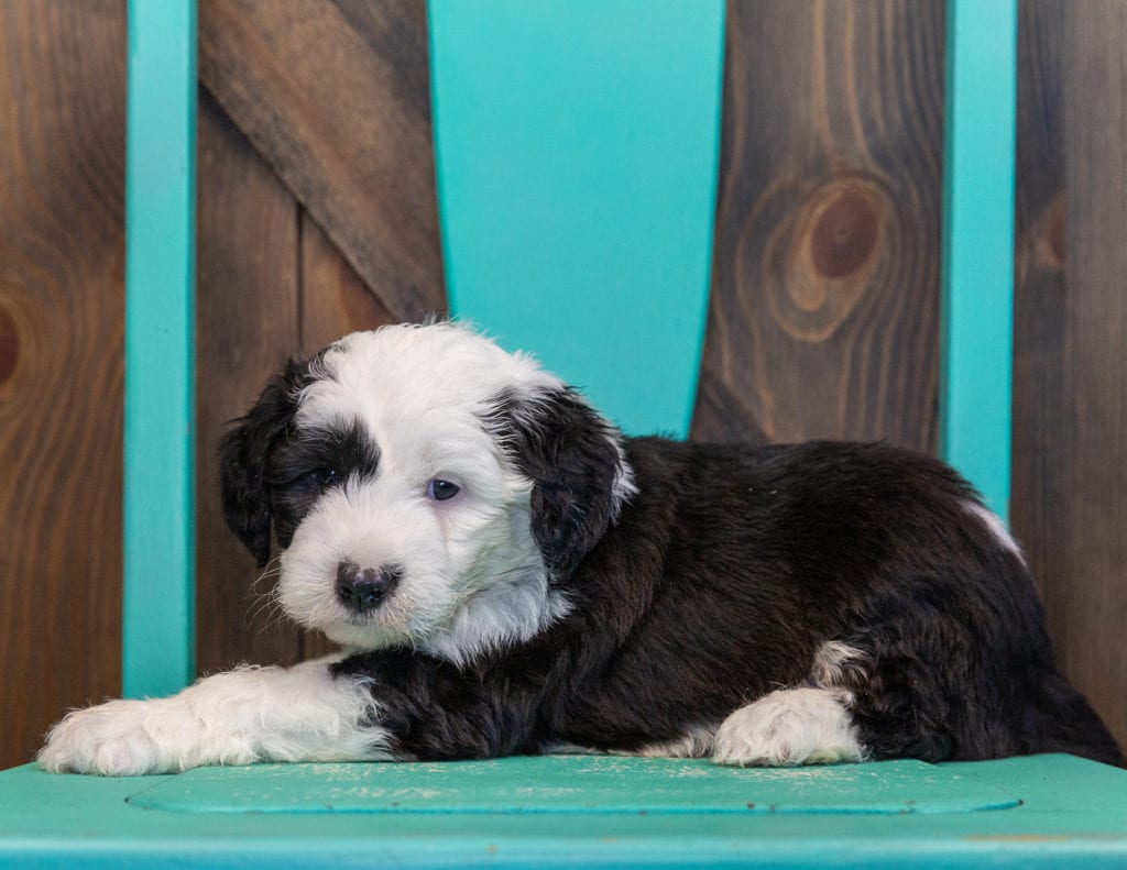 Turbo is an F1 Sheepadoodle.