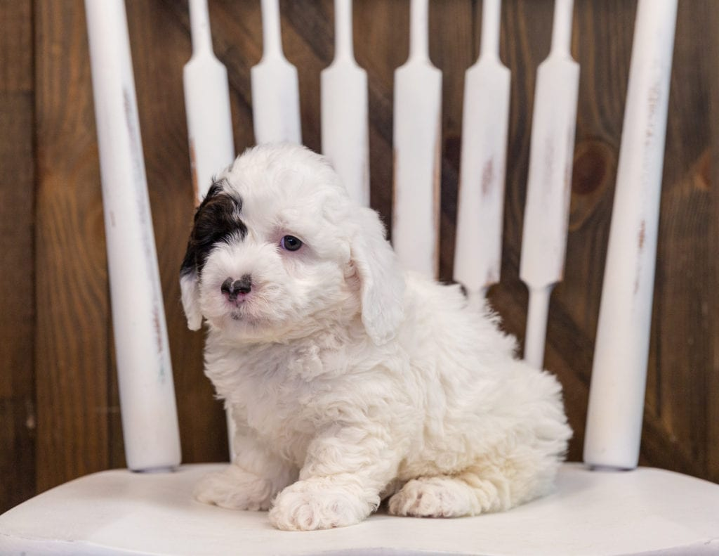 Addie is an F1 Sheepadoodle that should have  and is currently living in Mexico