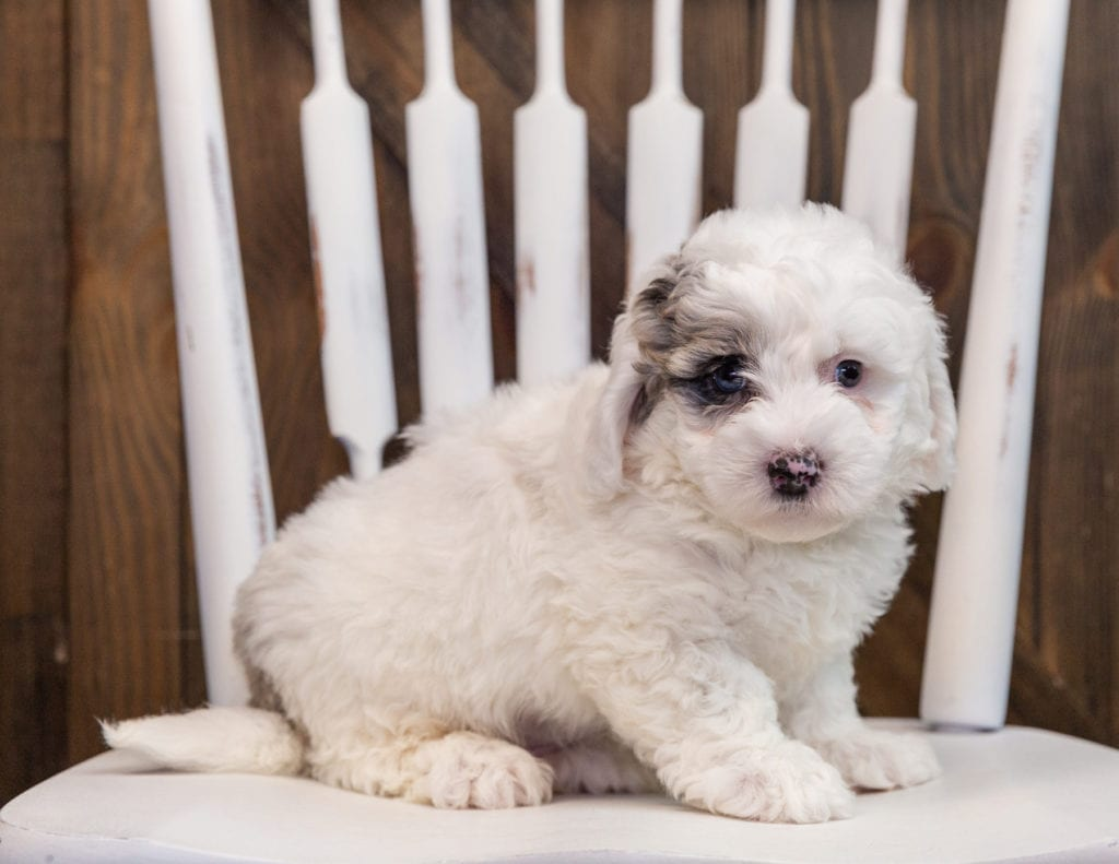 A picture of a Annie, one of our  Sheepadoodles puppies that went to their home in Arizona