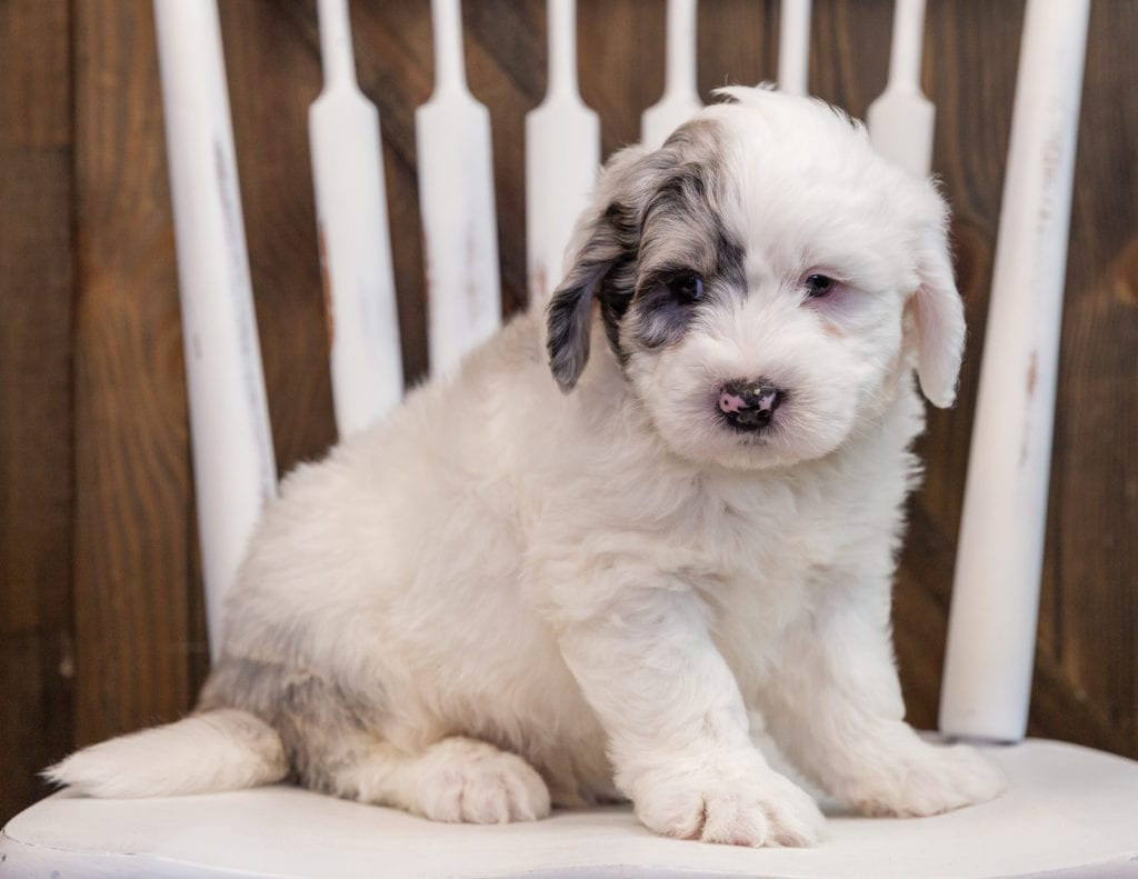 A picture of a Arlo, one of our  Sheepadoodles puppies that went to their home in Kansas