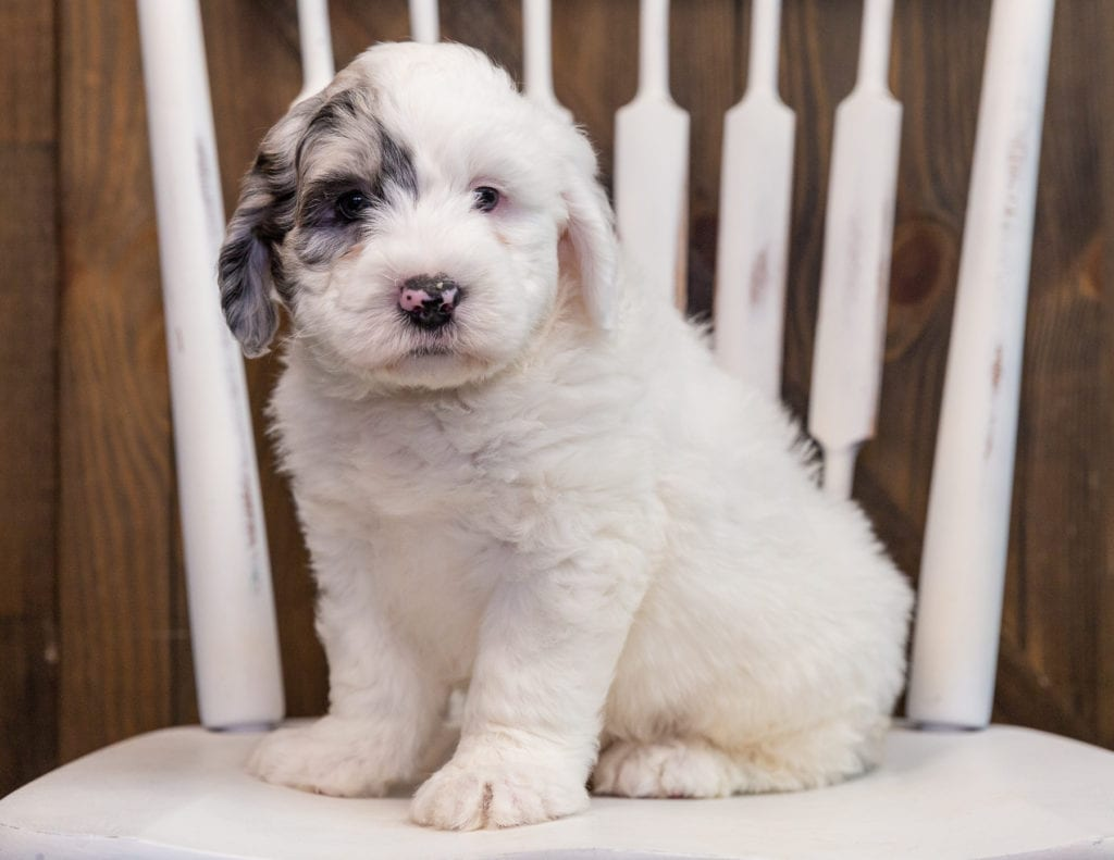 Arlo is an F1 Sheepadoodle that should have  and is currently living in Kansas