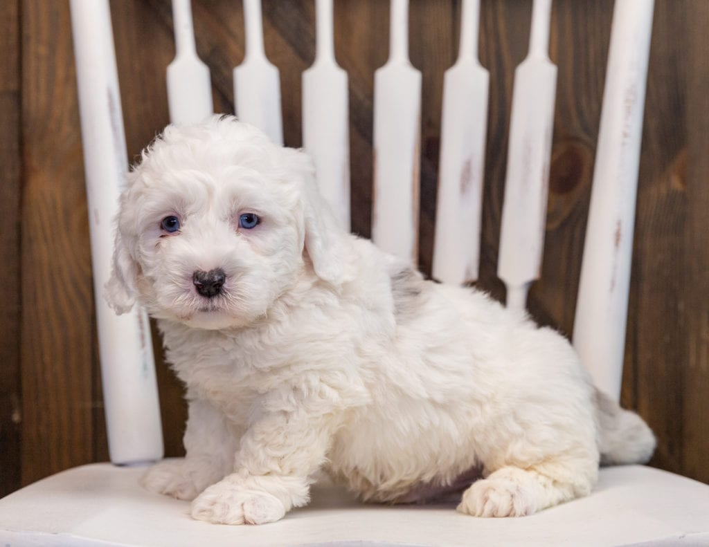 Aspen is an F1 Sheepadoodle that should have  and is currently living in Colorado