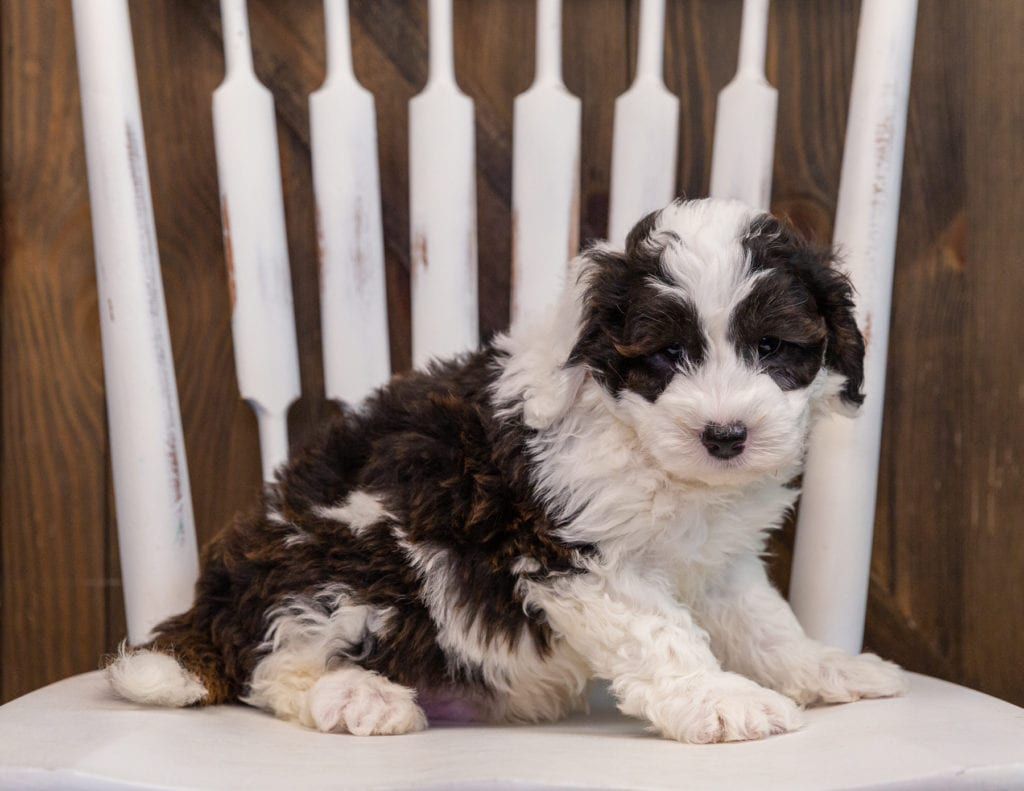 A picture of a Axl, one of our  Sheepadoodles puppies that went to their home in Nebraska