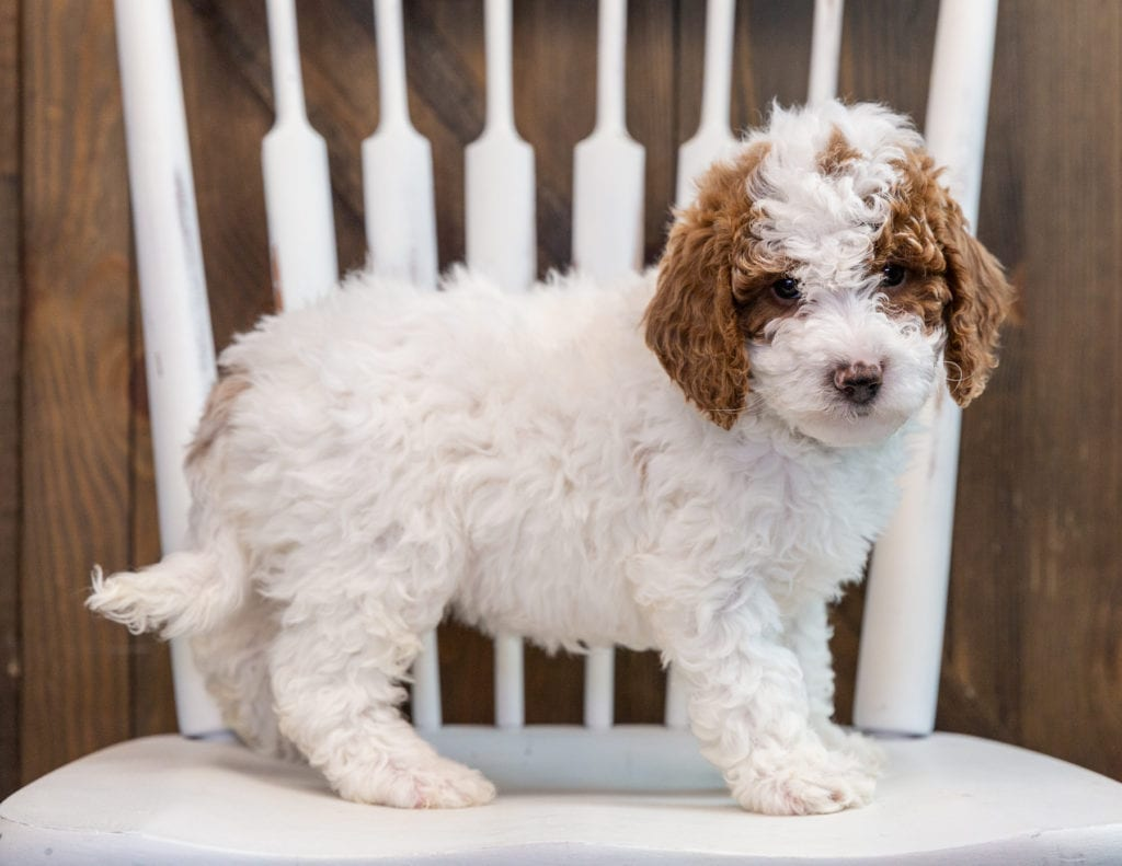 A picture of a Bella, one of our Mini Goldendoodles puppies that went to their home in Michigan