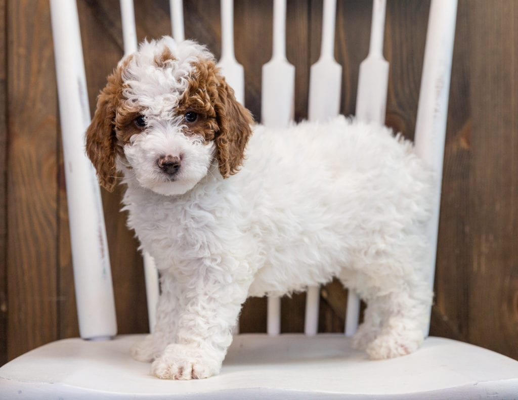 Bella is an F1B Goldendoodle that should have  and is currently living in Michigan