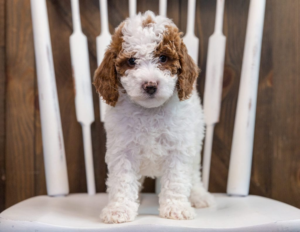 Bella came from Paisley and Milo's litter of F1B Goldendoodles