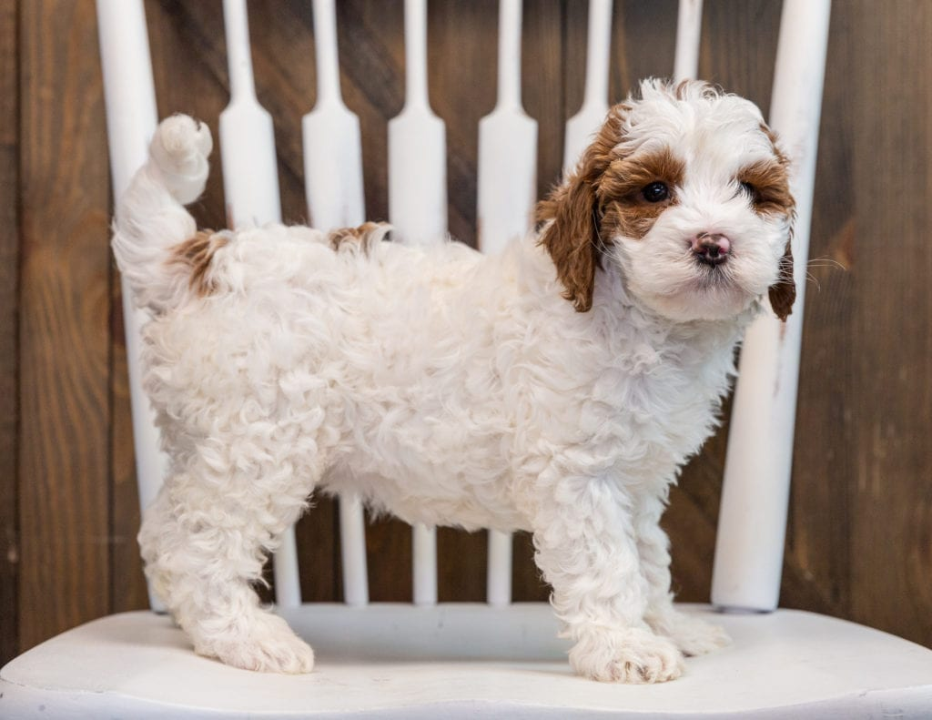 A picture of a Betsy, one of our Mini Goldendoodles puppies that went to their home in California