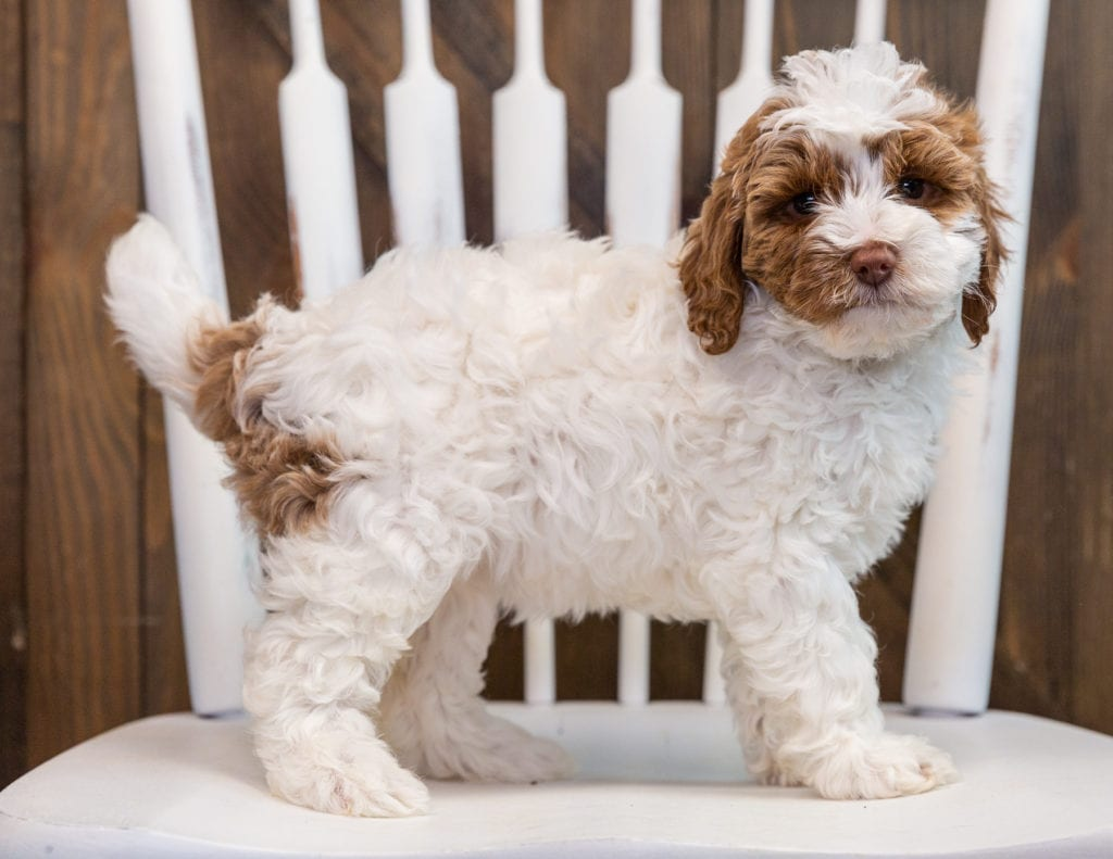 A picture of a Betty, one of our Mini Goldendoodles puppies that went to their home in Virginia