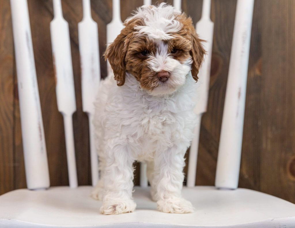 Betty came from Paisley and Milo's litter of F1B Goldendoodles