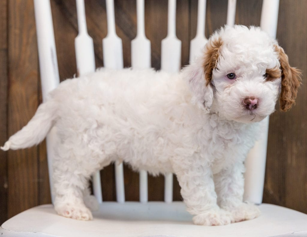 A picture of a Bo, one of our Mini Goldendoodles puppies that went to their home in Nebraska
