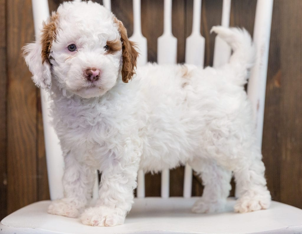 Bo is an F1B Goldendoodle that should have  and is currently living in Nebraska