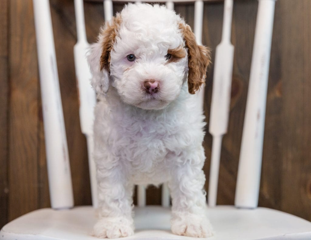 Bo came from Paisley and Milo's litter of F1B Goldendoodles