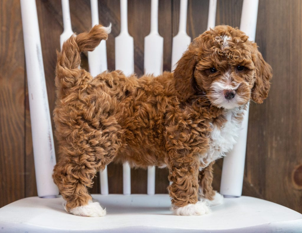 A picture of a Bonnie, one of our Mini Goldendoodles puppies that went to their home in California