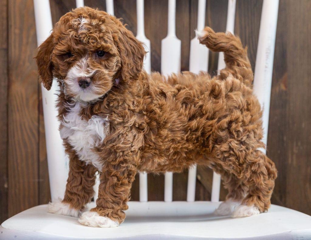 Bonnie is an F1B Goldendoodle that should have  and is currently living in California