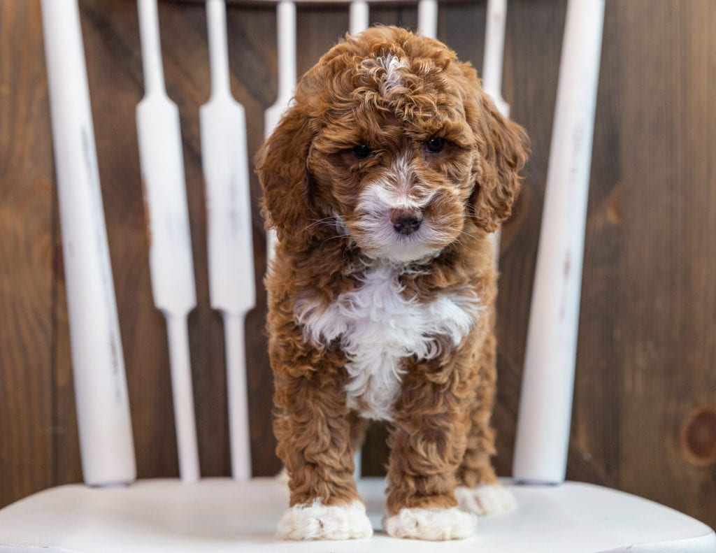Bonnie came from Paisley and Milo's litter of F1B Goldendoodles
