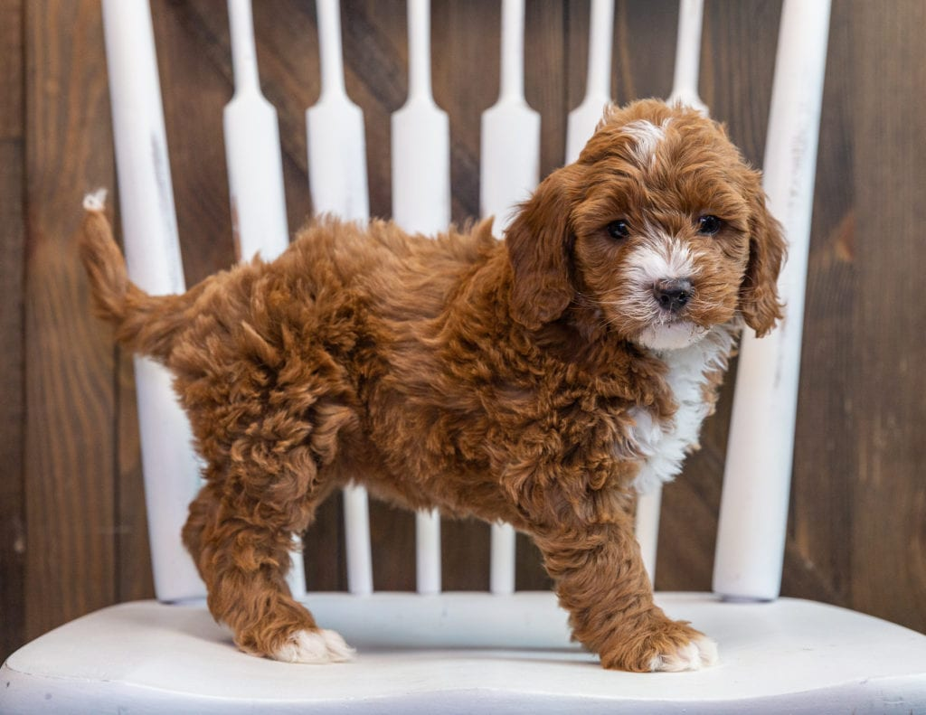 A picture of a Brenna, one of our Mini Goldendoodles puppies that went to their home in Arizona