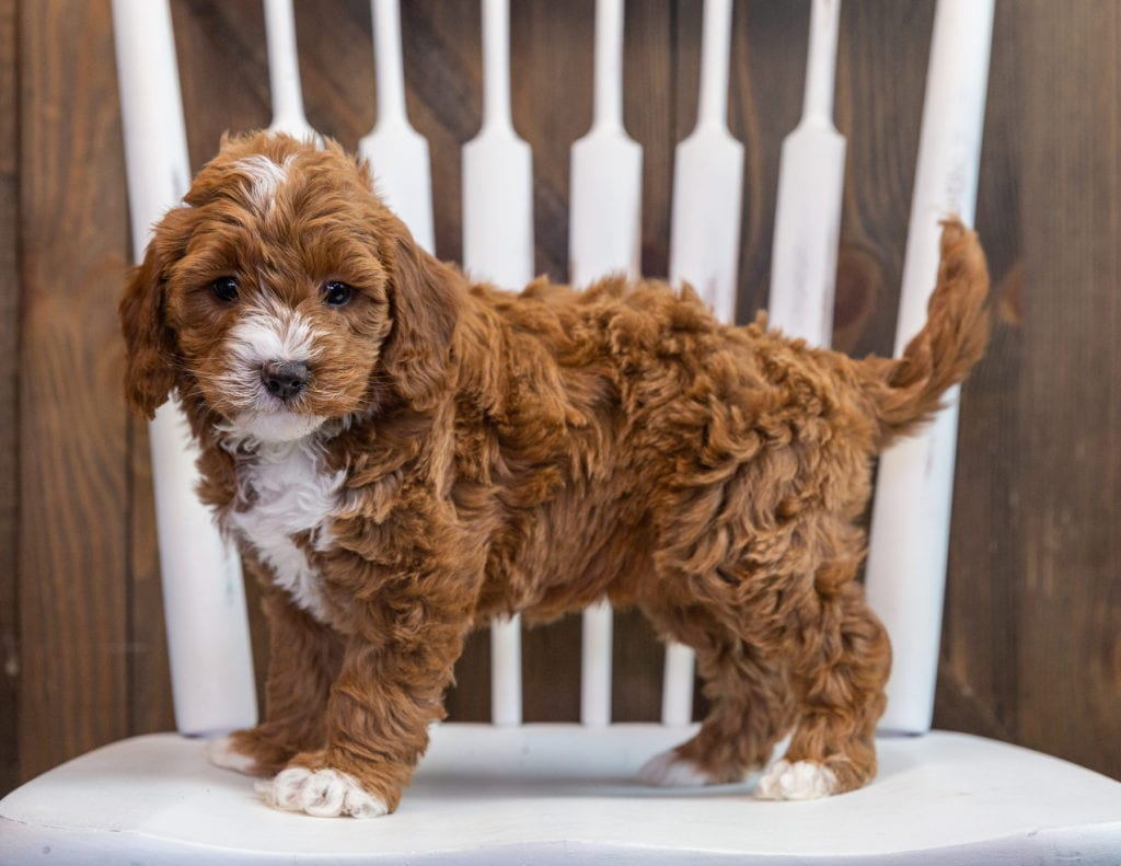 Brenna is an F1B Goldendoodle that should have  and is currently living in Arizona