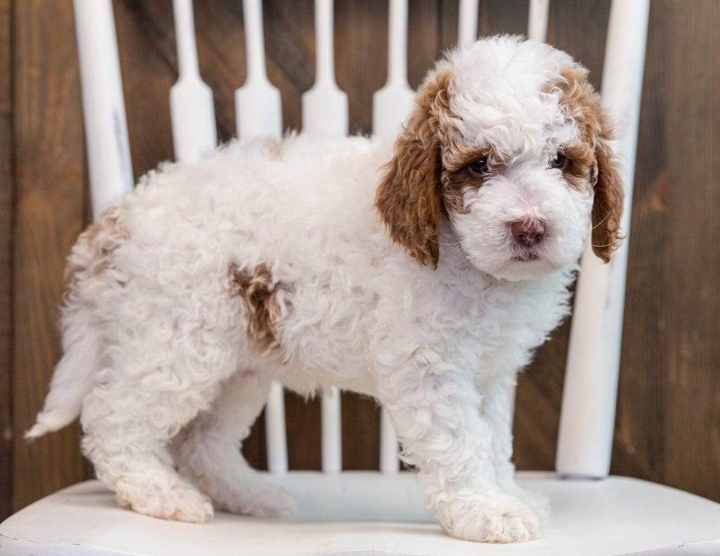 A picture of a Brock, one of our Mini Goldendoodles puppies that went to their home in Florida