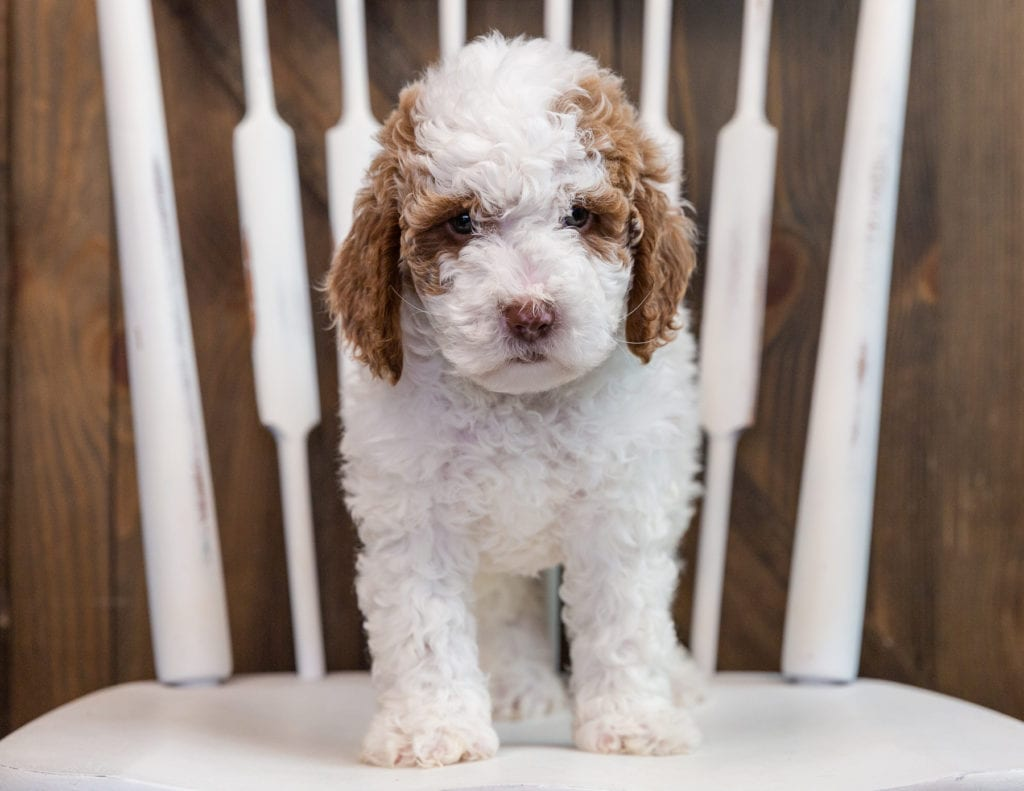 Brock came from Paisley and Milo's litter of F1B Goldendoodles
