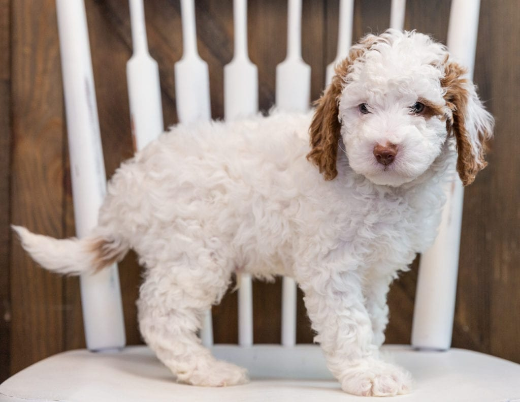 A picture of a Brody, one of our Mini Goldendoodles puppies that went to their home in Kentucky