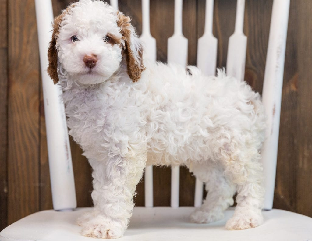 Brody is an F1B Goldendoodle that should have  and is currently living in Kentucky
