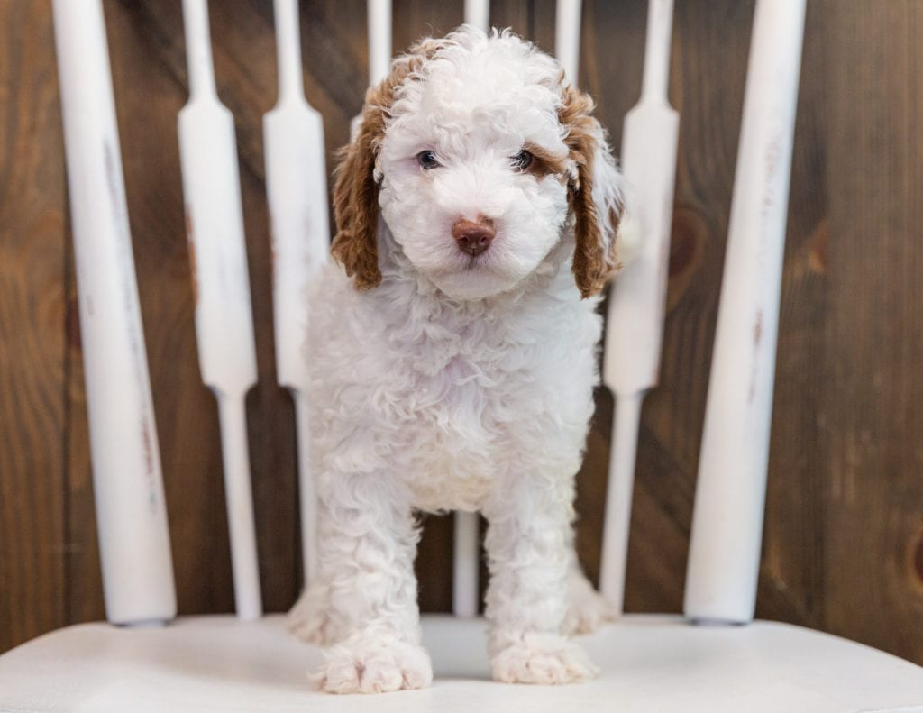 Brody came from Paisley and Milo's litter of F1B Goldendoodles