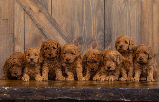 A Poodles 2 Doodles litter of  Goldendoodles raised in Iowa