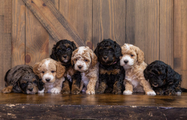 A Poodles 2 Doodles litter of Petite Bernedoodles raised in Iowa