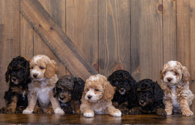 A litter of Petite Bernedoodles raised in Iowa by Poodles 2 Doodles