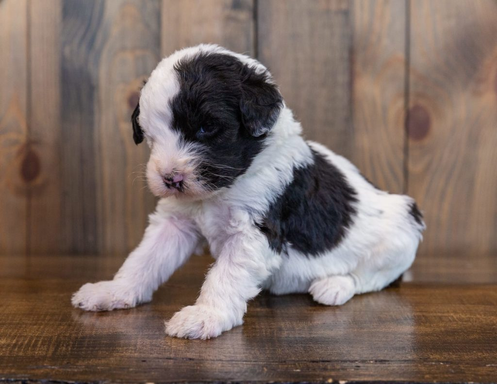 Unity is an F1 Sheepadoodle.