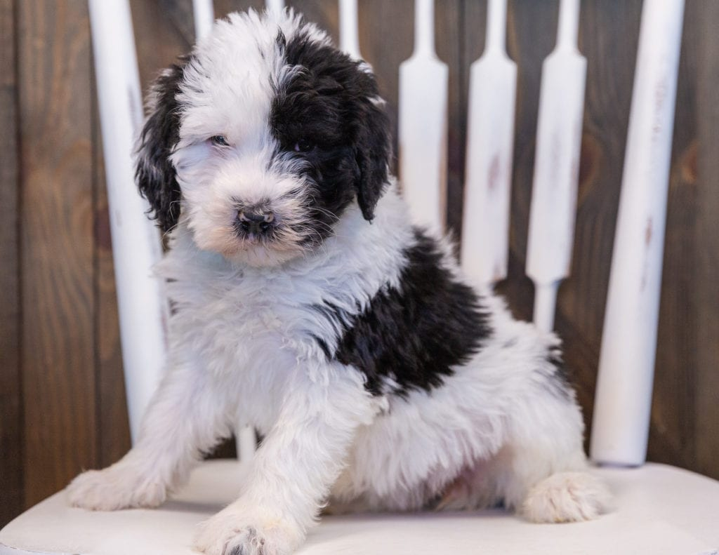 Unity is an F1 Sheepadoodle that should have  and is currently living in Iowa