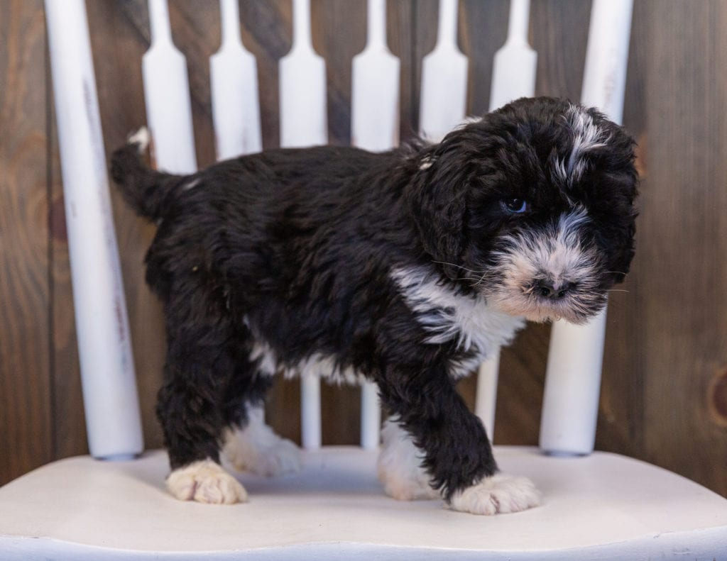 A picture of a Ursula, one of our Standard Sheepadoodles puppies that went to their home in Massachusetts