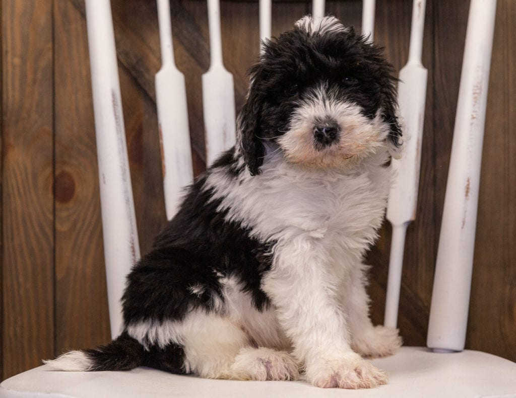 A picture of a Utah, one of our Standard Sheepadoodles puppies that went to their home in Connecticut