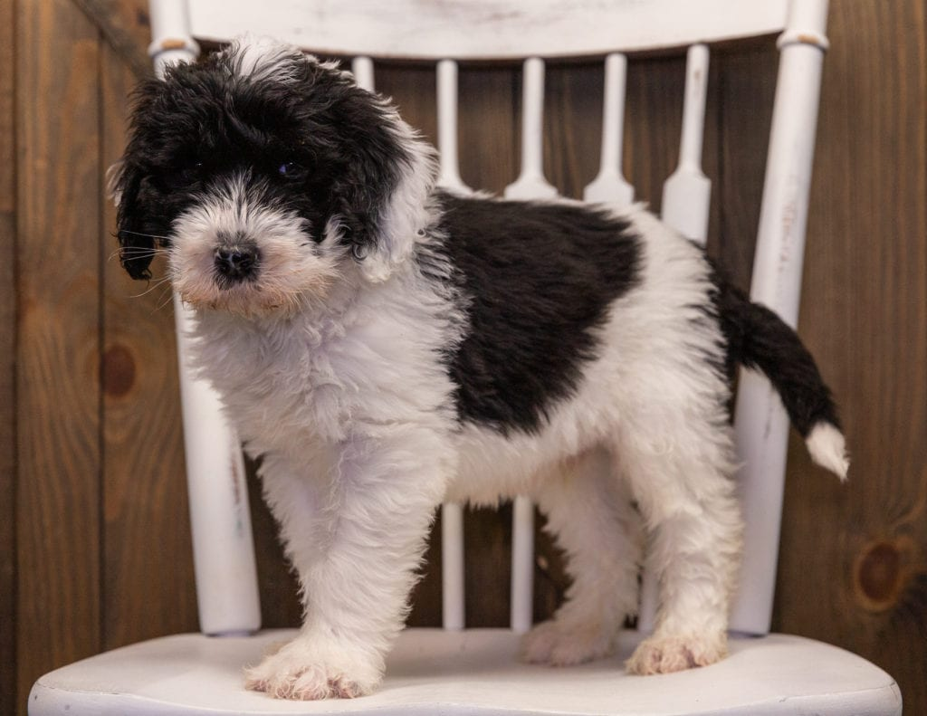 Utah is an F1 Sheepadoodle that should have  and is currently living in Connecticut