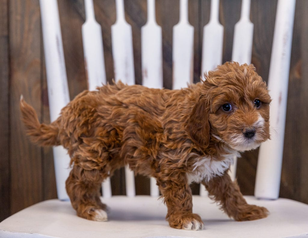 A picture of a Valentine, one of our Mini Irish Doodles puppies that went to their home in New York
