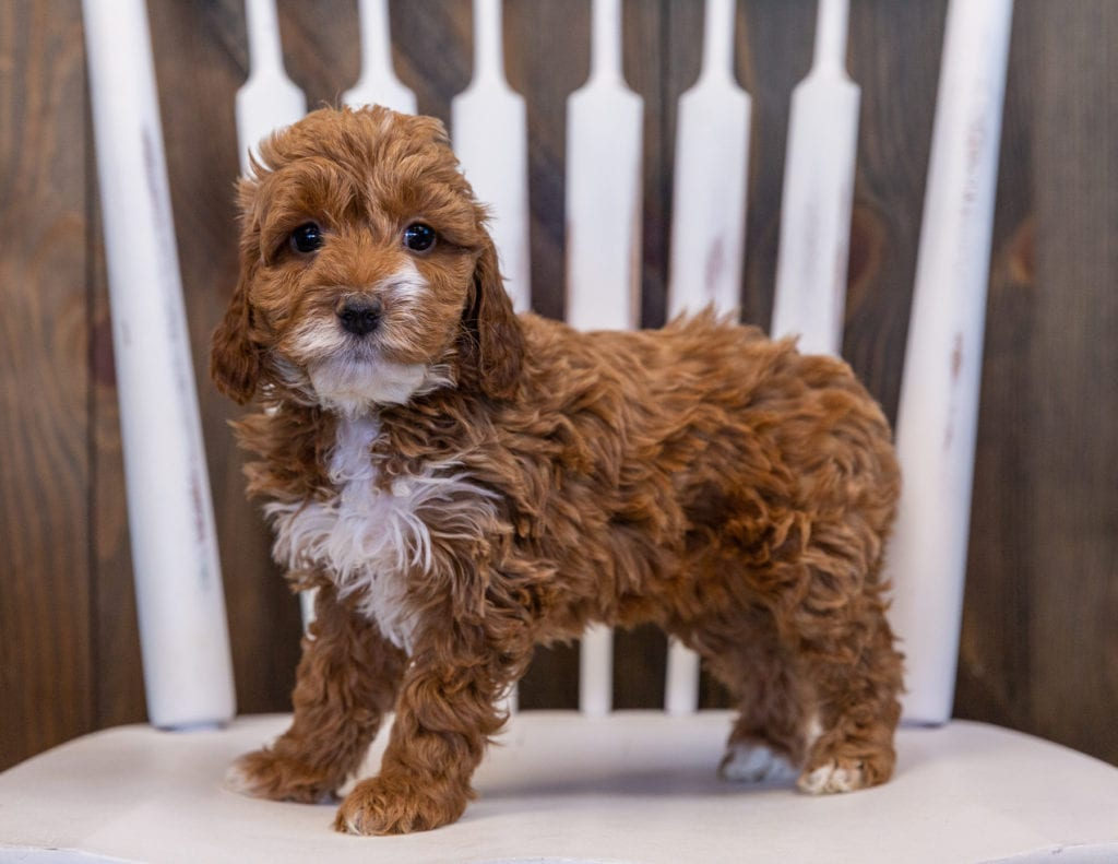 Valentine is an F1 Irish Doodle that should have  and is currently living in New York