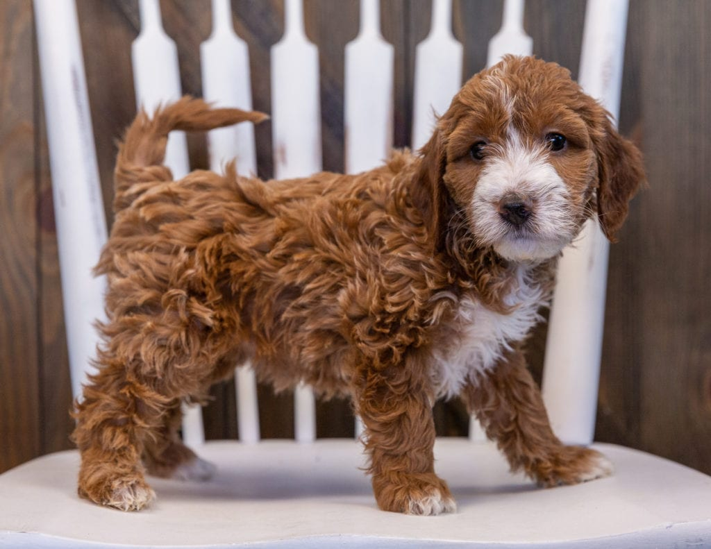 A picture of a Vandy, one of our Mini Irish Doodles puppies that went to their home in Virginia