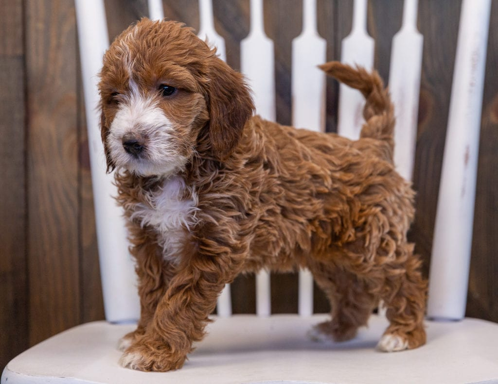 Vandy is an F1 Irish Doodle that should have  and is currently living in Virginia
