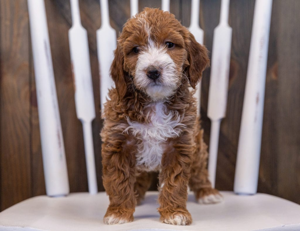 Vandy came from Ginger and Milo's litter of F1 Irish Doodles