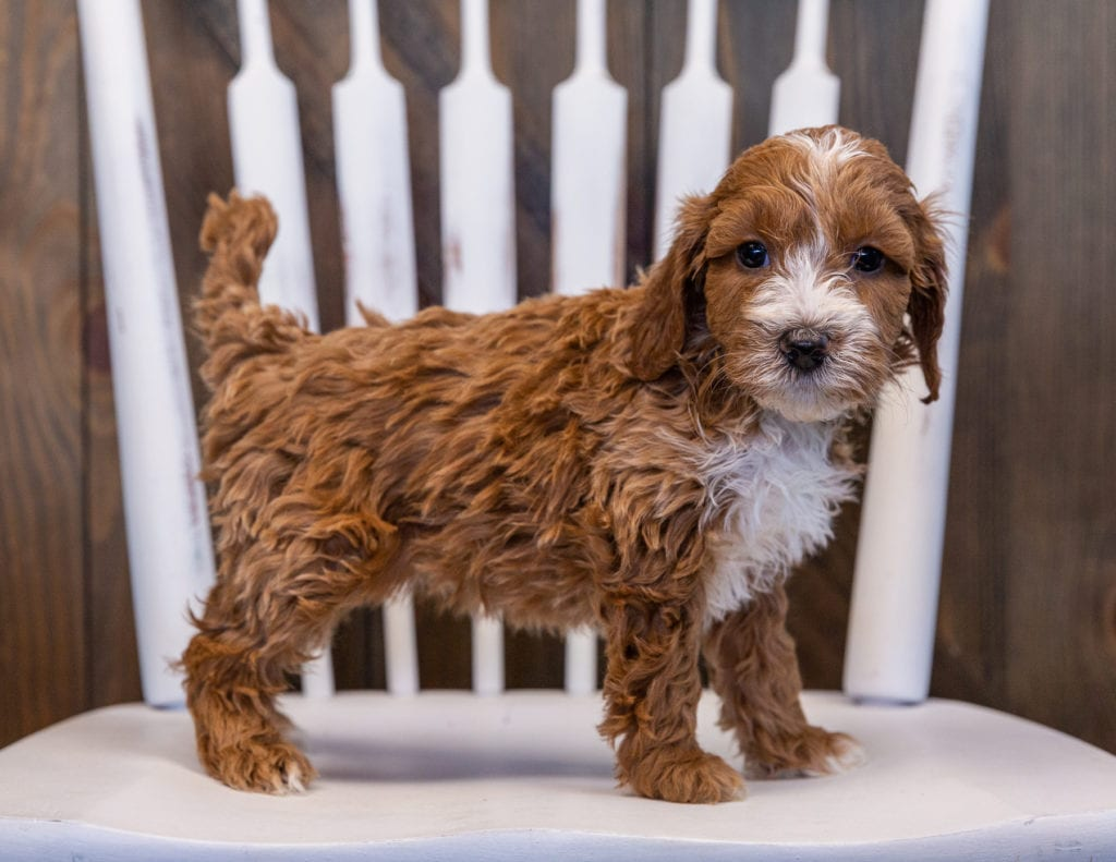 A picture of a Velvet, one of our Mini Irish Doodles puppies that went to their home in South Dakota