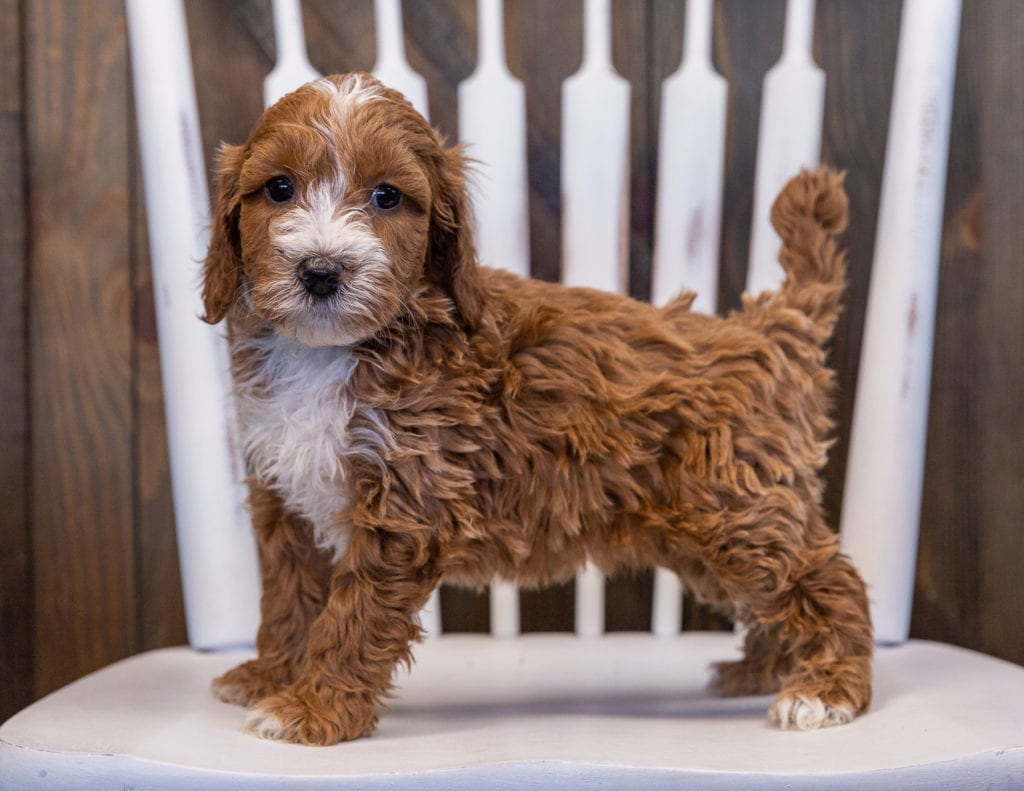 Velvet is an F1 Irish Doodle that should have  and is currently living in South Dakota