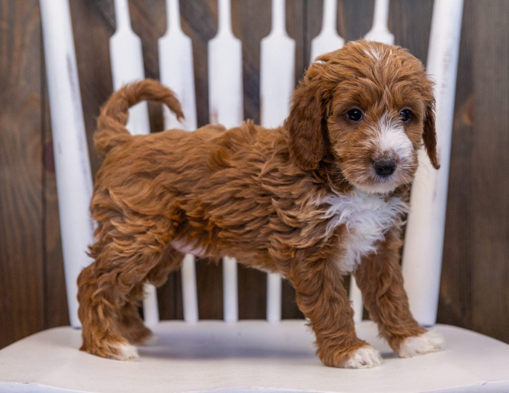 A picture of a Vicky, one of our Mini Irish Doodles puppies that went to their home in Alabama