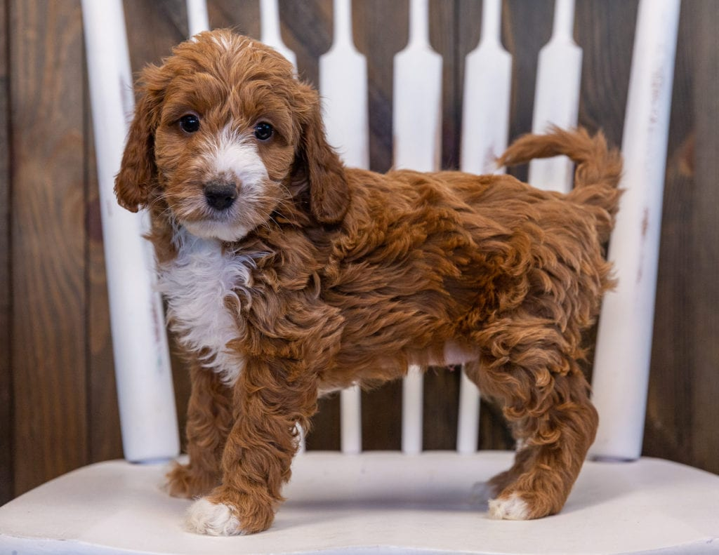 Vicky is an F1 Irish Doodle that should have  and is currently living in Alabama