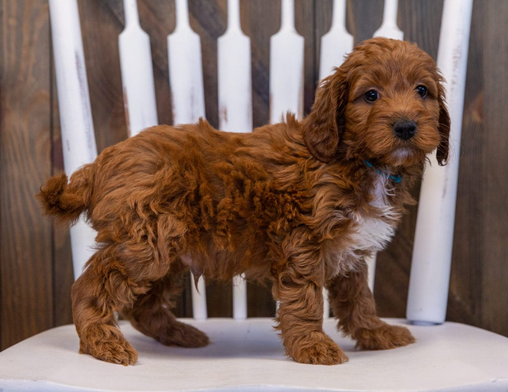 A picture of a Victor, one of our Mini Irish Doodles puppies that went to their home in Iowa