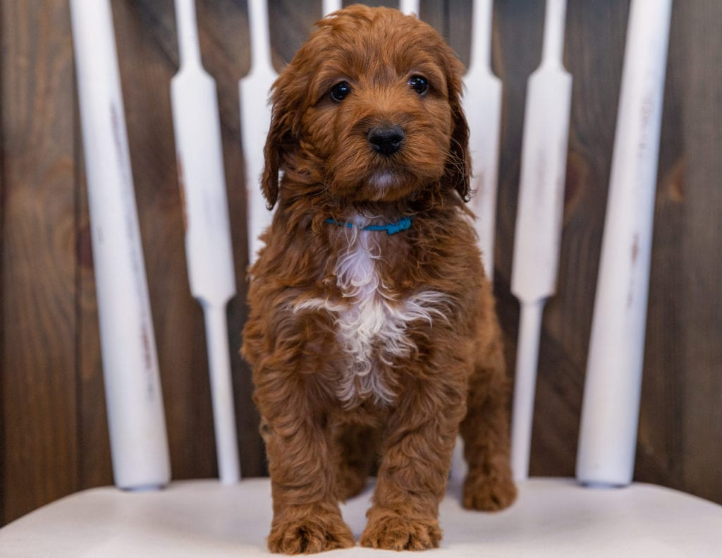 Victor came from Ginger and Milo's litter of F1 Irish Doodles