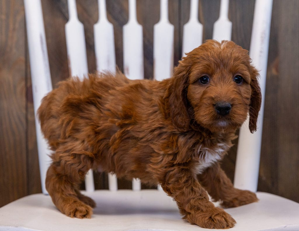 A picture of a Vito, one of our Mini Irish Doodles puppies that went to their home in New York